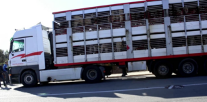 Camió de transport de porcs