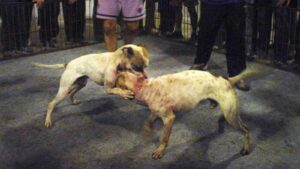 Baralla de gossos