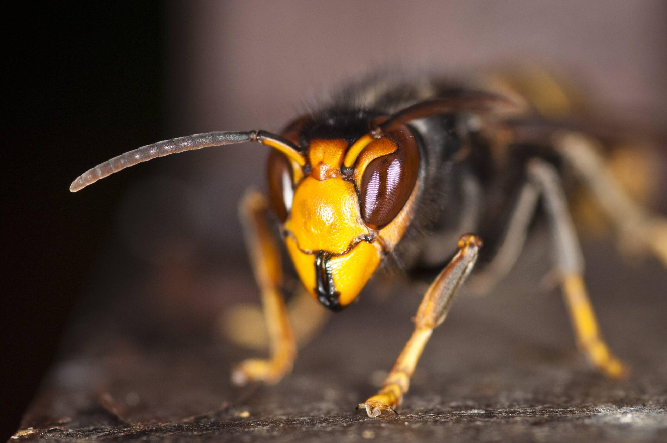 vespa asiatica